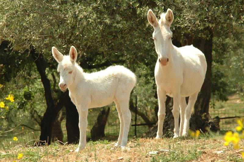 Resultado de imagen de burros del asinara
