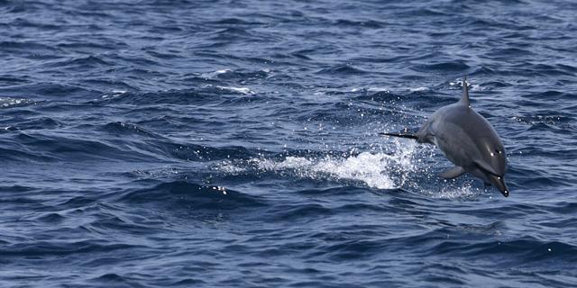 Delfines en las aguas de la isla de Tavolara