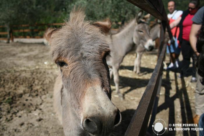 Los burros enanos del Parque S'Abba Frisca